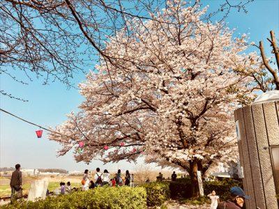 鴨居桜祭り開催中!